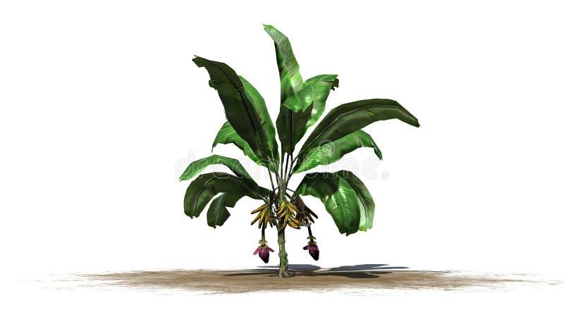 Bananväxt som isoleras på vit bakgrund vektor illustrationer