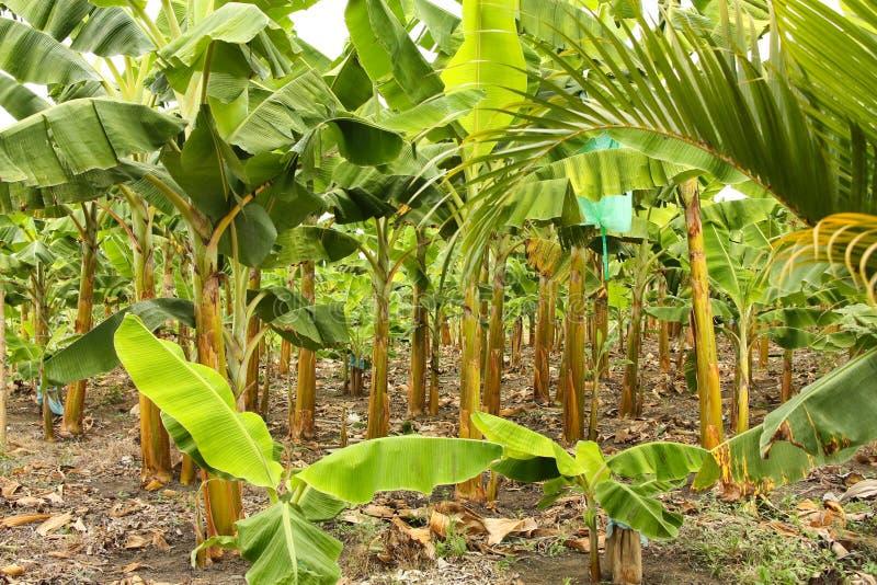 banany drzewni fotografia stock
