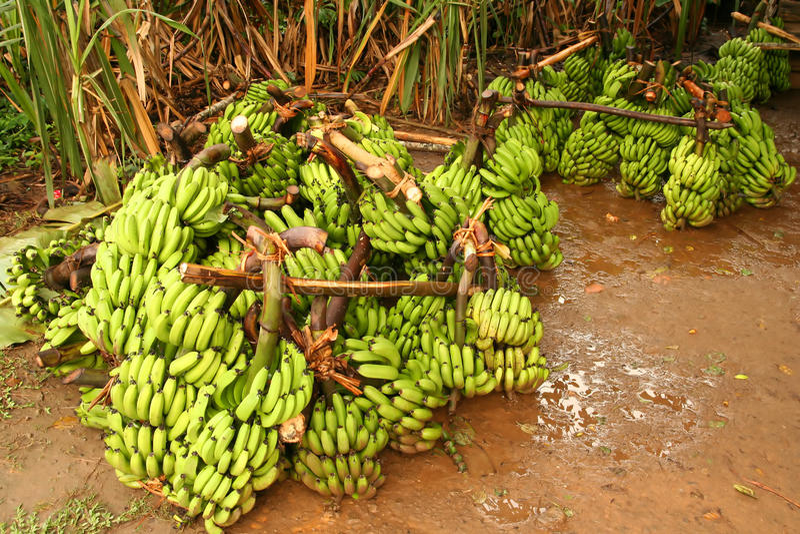 banany duży wiązka obrazy royalty free