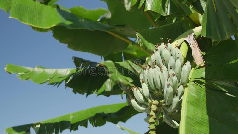 Banany na Corfu zbiory wideo