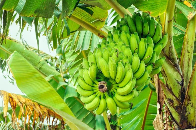 Banany na drzewie zdjęcia royalty free