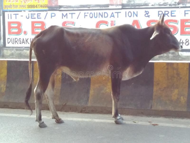 Banaras- The city of widow, bulls, steps and hermits.eet remind. Banaras- the historical and mythological city known for its cluster of widows, bulls roaming royalty free stock photography