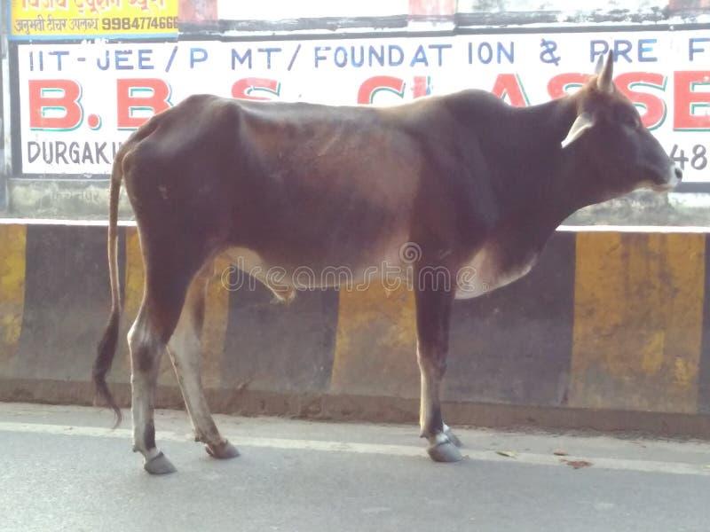 Banaras- miasto wdowa, byki, kroki i eremita, eet przypomina fotografia royalty free