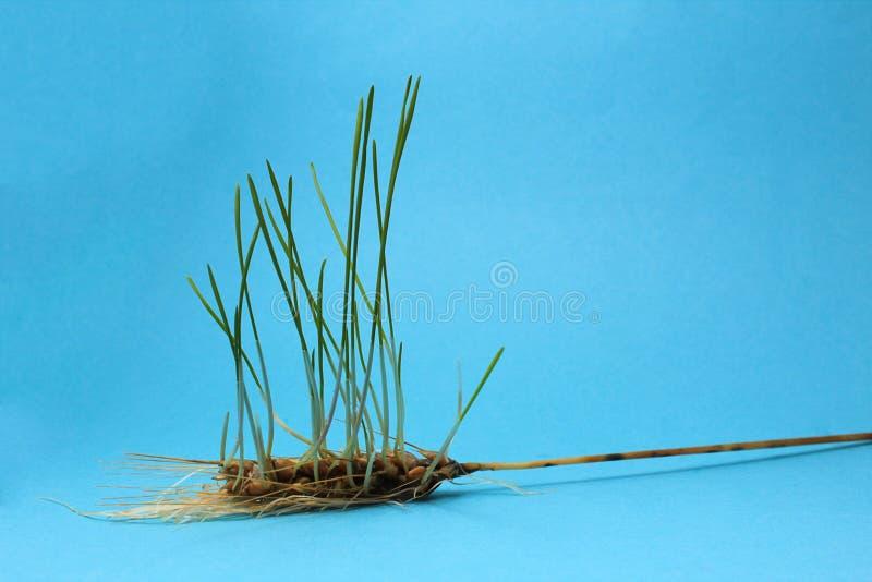 Banatka kiełkował w kolec zieleni z korzeniami długo zdjęcie royalty free