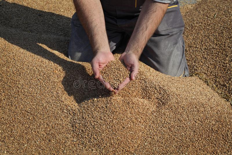 Banatka po żniwa, rolnik ręki z uprawą zdjęcia stock