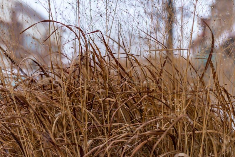 Banatki lub trawy spływanie w wiatrze zdjęcie royalty free