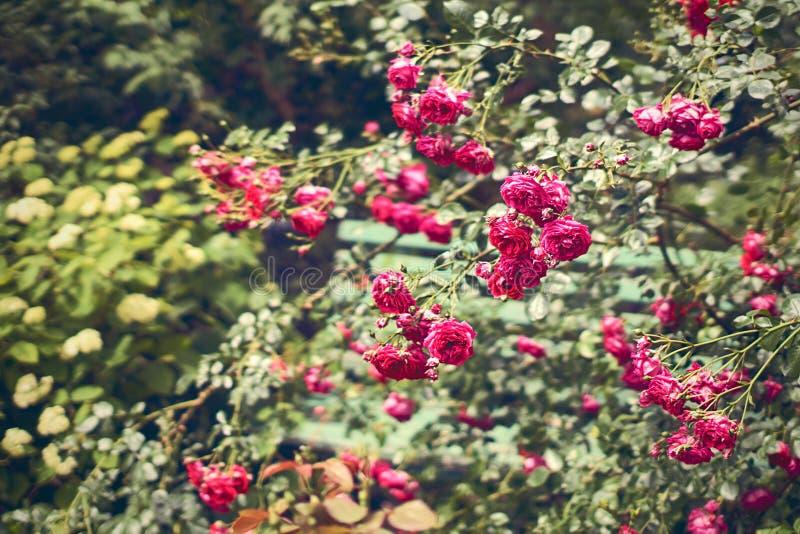 Banc caché dans le jardin de roses images libres de droits