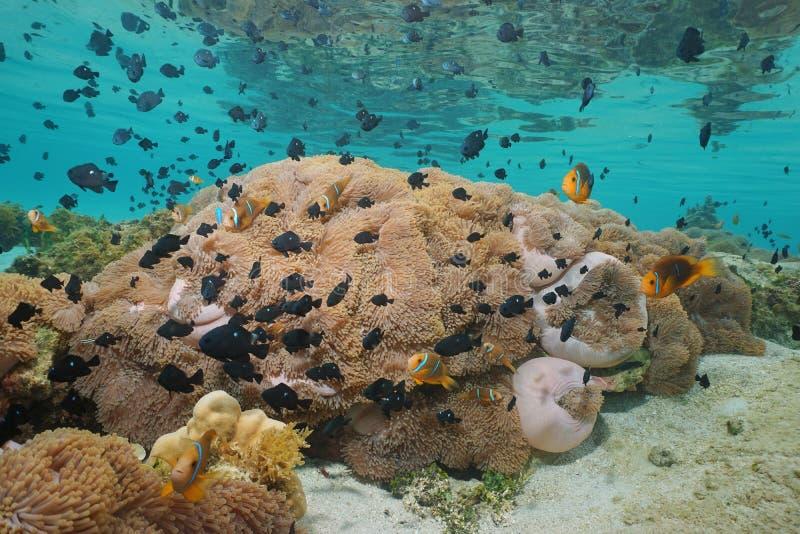 Banc des actinies tropicales de poissons sous-marines image libre de droits