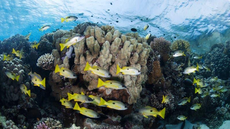 Banc des cordelettes jaune-rayées dans un récif coralien coloré photographie stock libre de droits