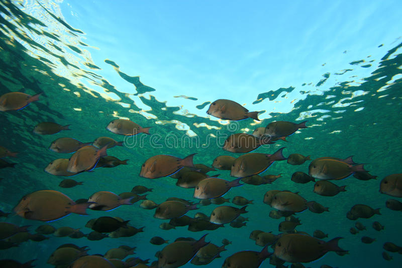 Banc des poissons photos stock