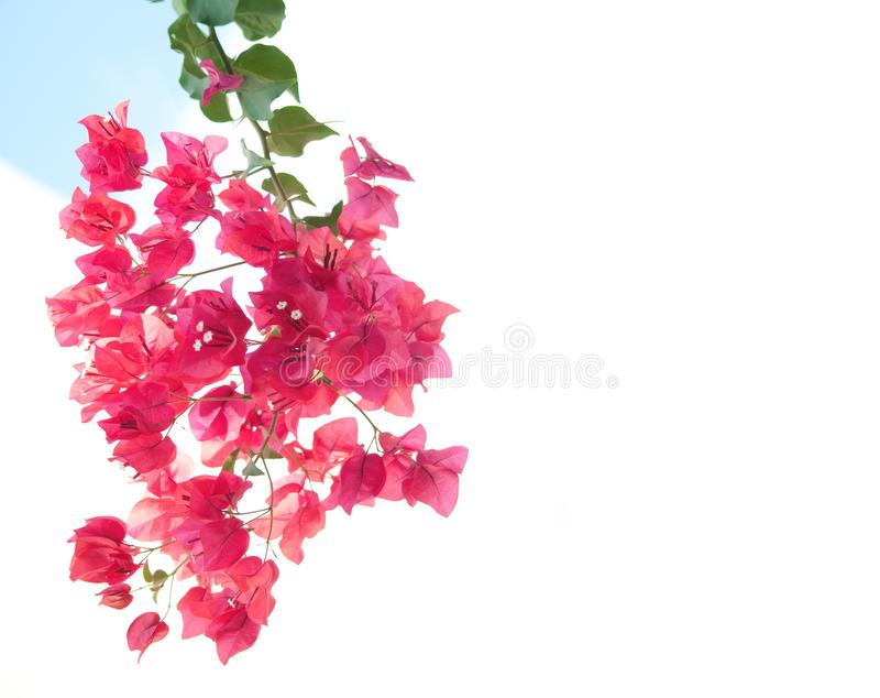 Banch bonito com as flores cor-de-rosa com espaço livre chipre imagem de stock royalty free