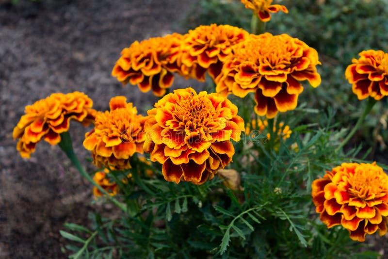 Banch de flores do cravo-de-defunto no jardim fotos de stock royalty free