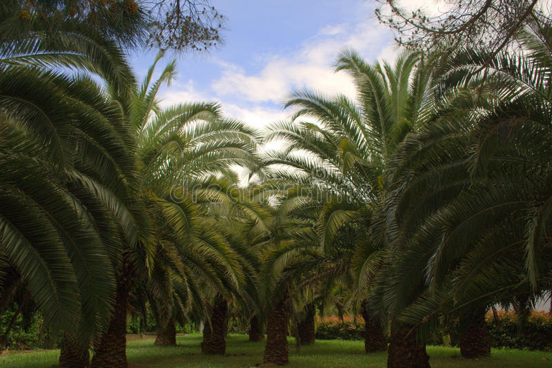 Palm trees in the garden in a pacefull day royalty free stock image
