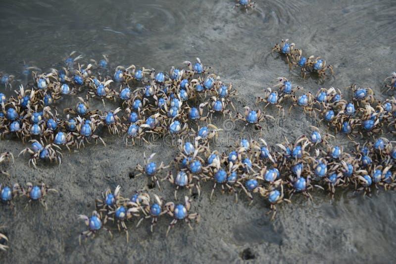 Banchi del granchio di soldato fotografia stock libera da diritti