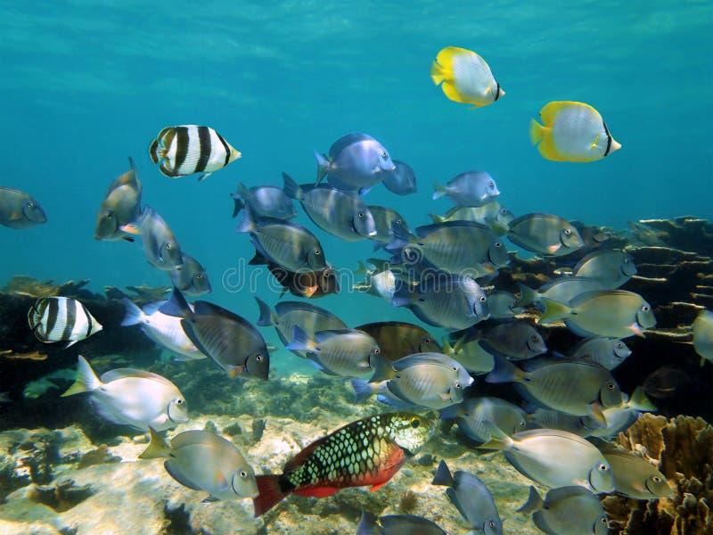 Banco de areia de peixes tropicais em um recife coral foto de stock royalty free