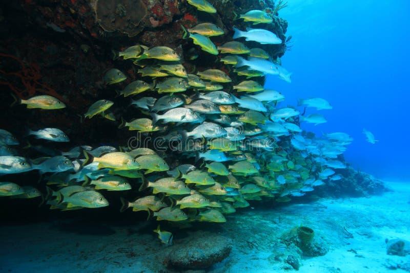 Banco de areia dos peixes do grunhido subaquáticos no recife de corais imagem de stock