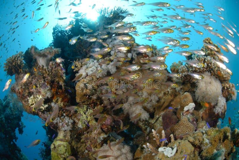 Banco de areia dos peixes e do recife coral imagem de stock royalty free