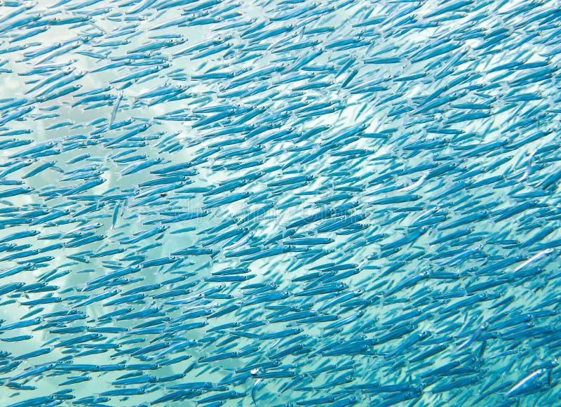 Banco de areia de peixes minúsculos Vida marinha colorida no Mar Vermelho, Egito, Dahab imagens de stock royalty free
