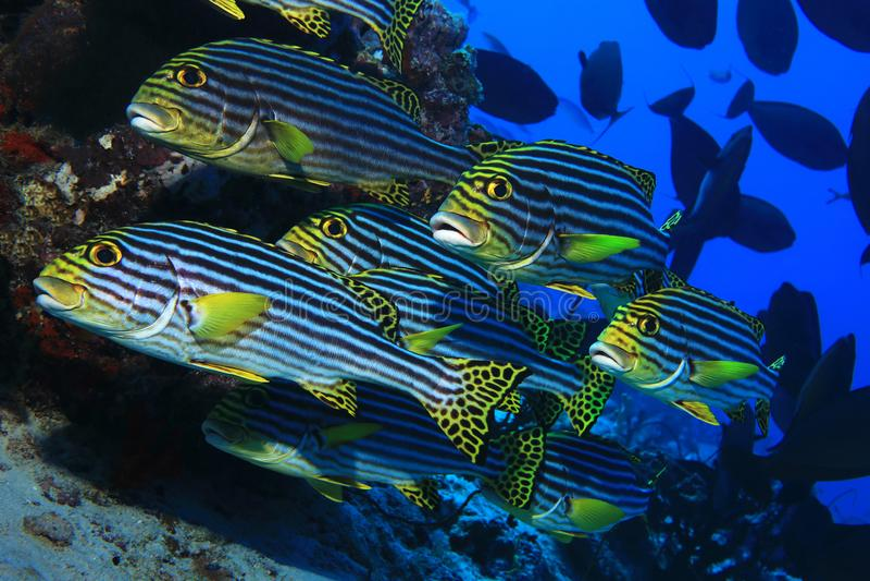 Banco de areia de peixes orientais dos sweetlips fotografia de stock