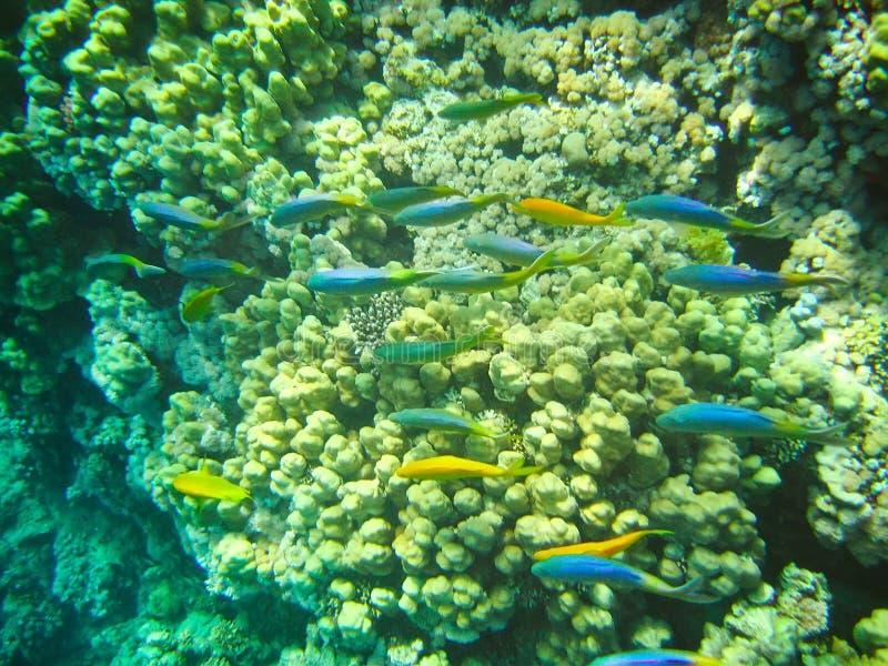 Banco de areia tropical pequeno dos peixes no mundo subaquático dos recifes de corais fotografia de stock