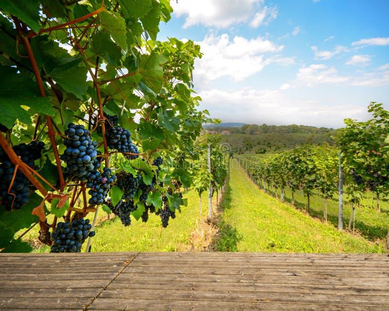 Banco de madera en el viñedo - uvas de vino rojo en otoño antes de la cosecha fotografía de archivo libre de regalías