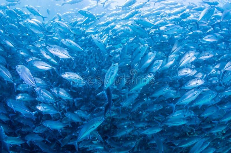 Banco dei pesci della presa fotografia stock