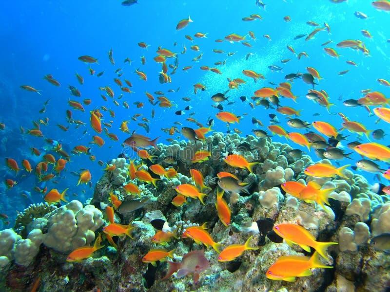 Download Banco Dei Pesci Sulla Scogliera Fotografia Stock - Immagine di snorkeling, trasparente: 7312014