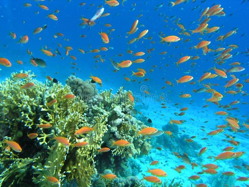 Download Banco Dei Pesci Sulla Scogliera Fotografia Stock - Immagine di subacqueo, snorkel: 7312172