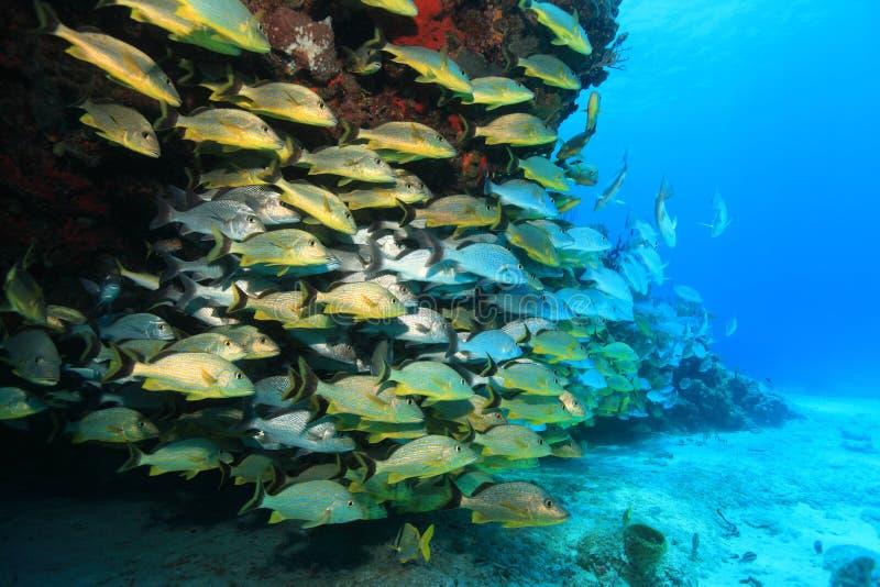 Banco del pesce di grugnito subacqueo nella barriera corallina immagini stock libere da diritti