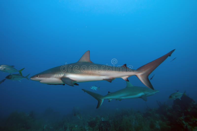 Banco dello squalo della scogliera fotografia stock libera da diritti