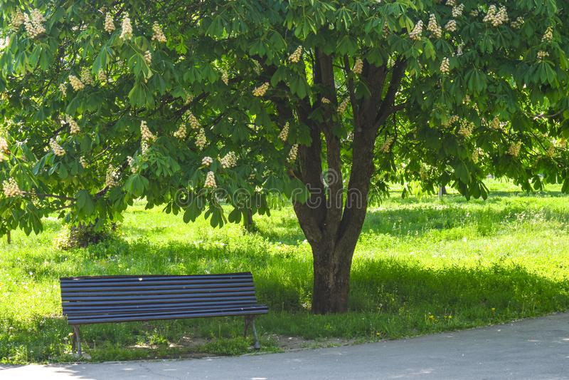 Banco di legno vuoto sotto la castagna sbocciante nel Central Park in un giorno di molla soleggiato fotografia stock libera da diritti