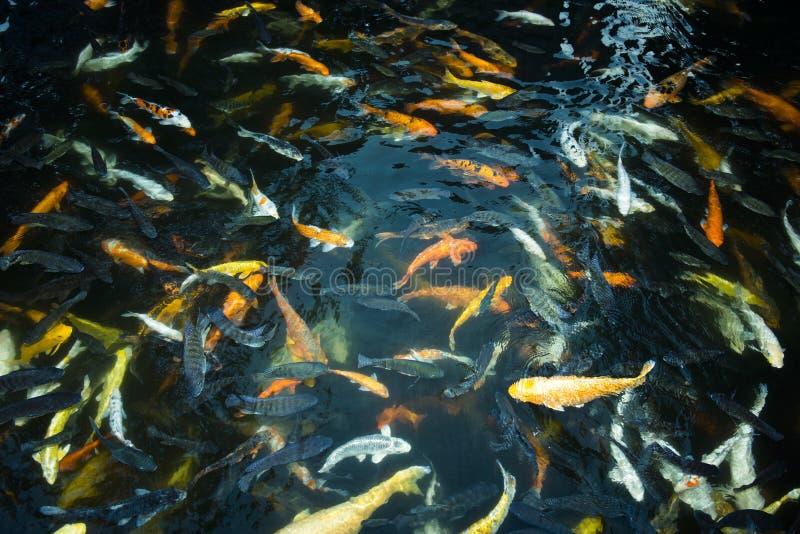 Banco di nuoto del pesce rosso nell'ambito della superficie di acqua in stagno all'aperto, mazzo di istruzione dei pesci cantati immagine stock