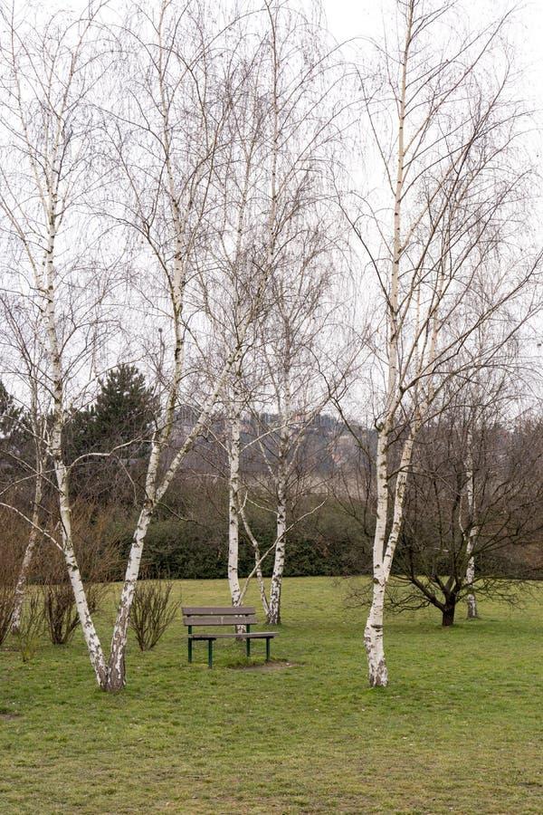 Banco solitário sob as árvores de vidoeiro fotografia de stock