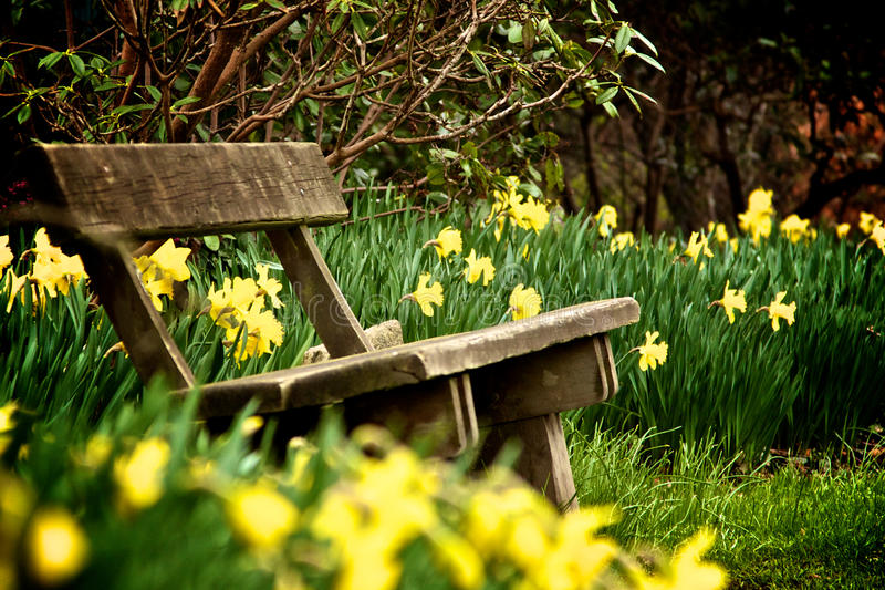 Banco in sosta fra i daffodils selvatici immagine stock