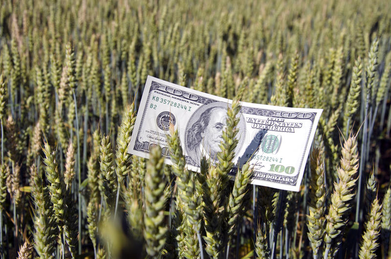 Banconota del dollaro sull'orecchio del grano nel campo - concetto di affari di agricoltura immagini stock