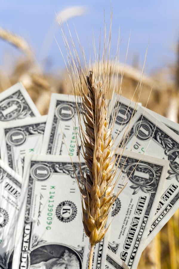 Banconota del dollaro sull'orecchio del grano immagini stock libere da diritti