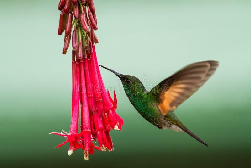 Band-angebundenes Barbthroat, das nahe bei roter Blume im Garten, Vogel vom Gebirgstropischen Wald, Savegre, Costa Rica schwebt stockfotos