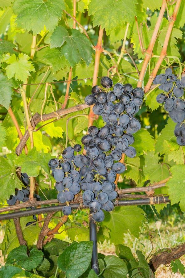 Band av blåa druvor med suddig bakgrund Begreppet skörd i en industriellt druvträdgård fotografering för bildbyråer