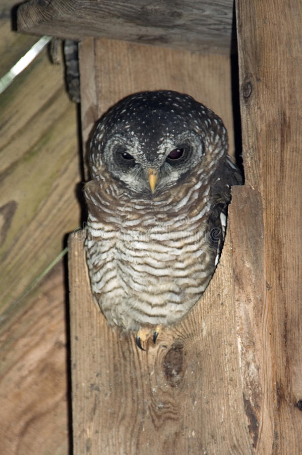 Band-Bellied Owl royalty free stock photography