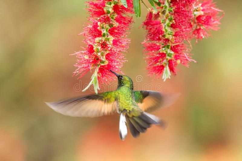 Band-tailed Barbthroat hovering next to red flower, bird in flight, mountain tropical forest, Costa Rica. Natural habitat, beautiful hummingbird sucking nectar royalty free stock photography