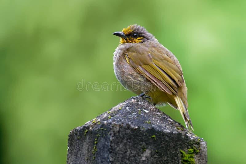 Band-throated Bulbul - Pycnonotus finlaysoni eller strimma-throated bulbul, sångfågel i bulbulfamiljen som finnas i söder-östligt royaltyfri bild