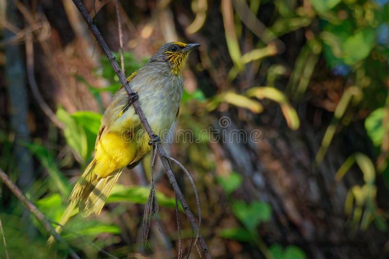 Band-throated Bulbul - Pycnonotus finlaysoni eller strimma-throated bulbul, sångfågel i bulbulfamiljen som finnas i söder-östligt arkivfoto