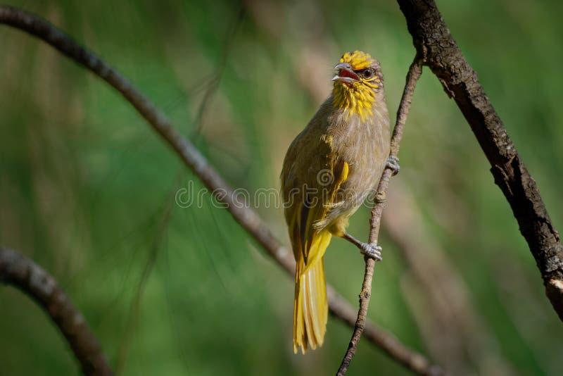 Band-throated Bulbul - Pycnonotus finlaysoni eller strimma-throated bulbul, sångfågel i bulbulfamiljen som finnas i söder-östligt fotografering för bildbyråer