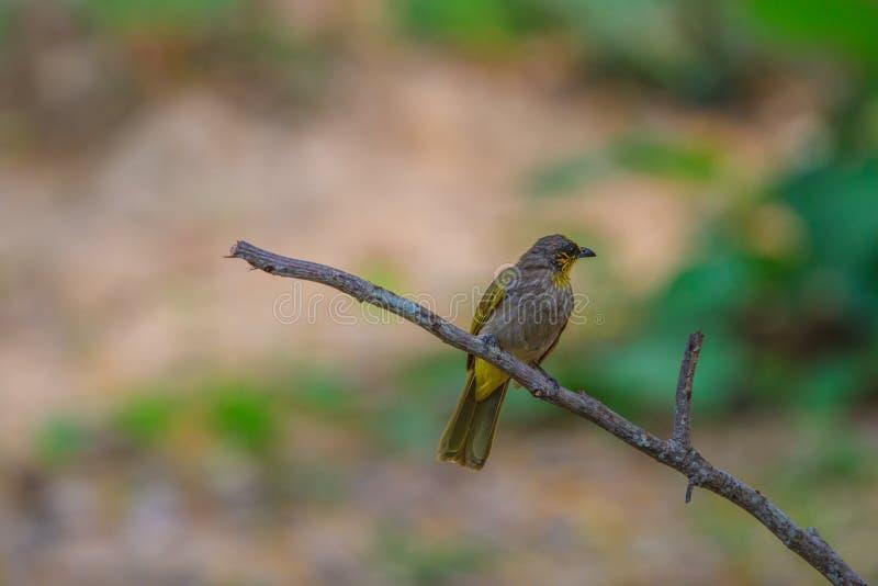 Band-throated Bulbulfågel som står på en filial i natur royaltyfri bild