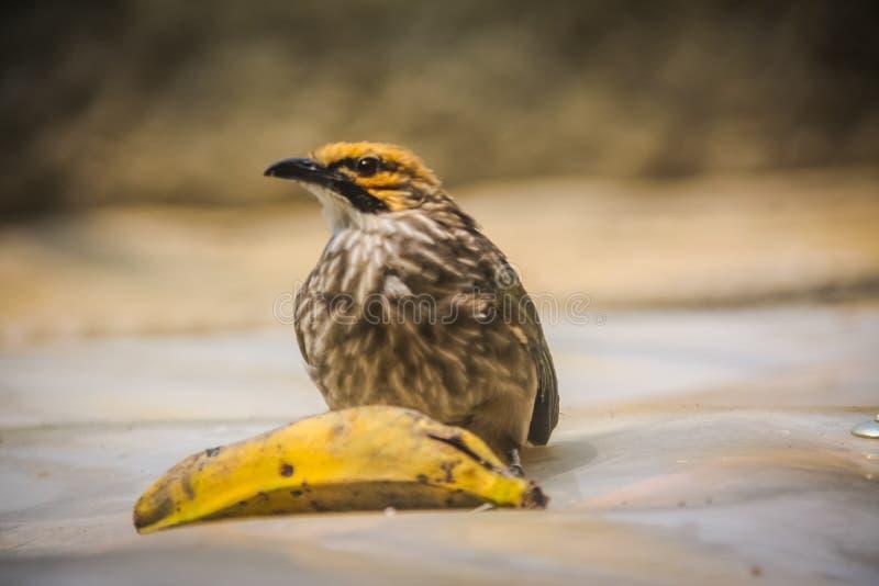 Band-throated bulbulfågelPycnonotus finlaysoni på sittpinne -2 fotografering för bildbyråer