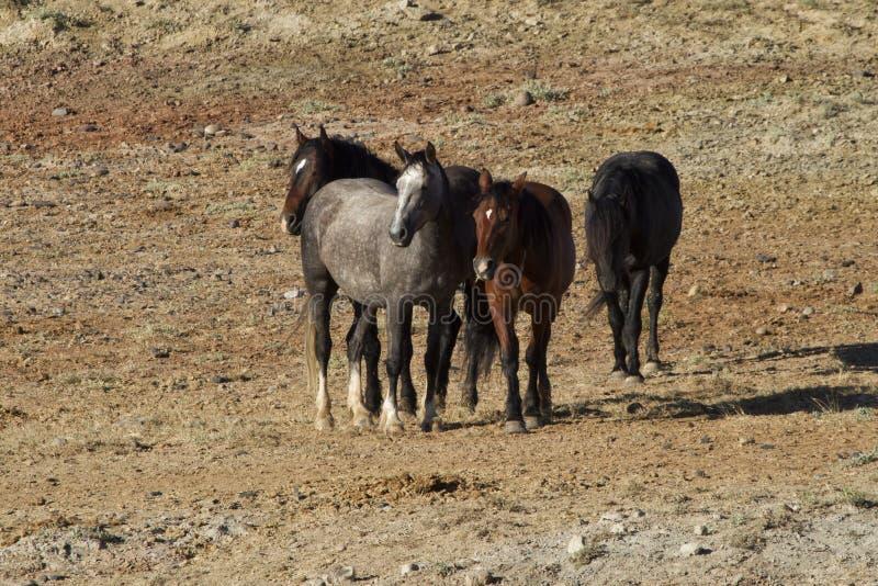 Band von den Mustangs, die über das Grasland gehen stockfotografie