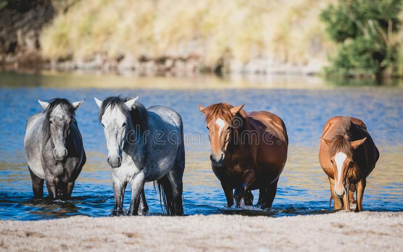 Band of wild horses coming out of the Salt River stock photos