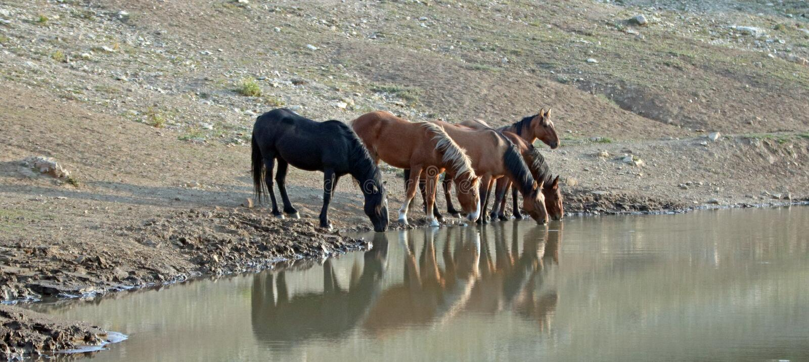 Band of wild horses reflecting in the water while drinking at the waterhole in the Pryor Mountains Wild Horse Range in Montana USA. Small band / herd of wild stock photos