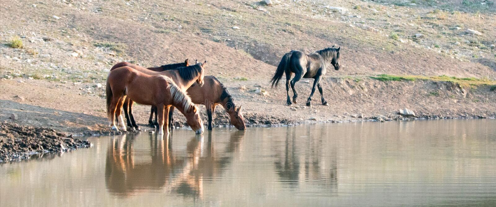 Band of wild horses reflecting in the water while drinking at the waterhole in the Pryor Mountains Wild Horse Range in Montana USA. Small band / herd of wild stock image