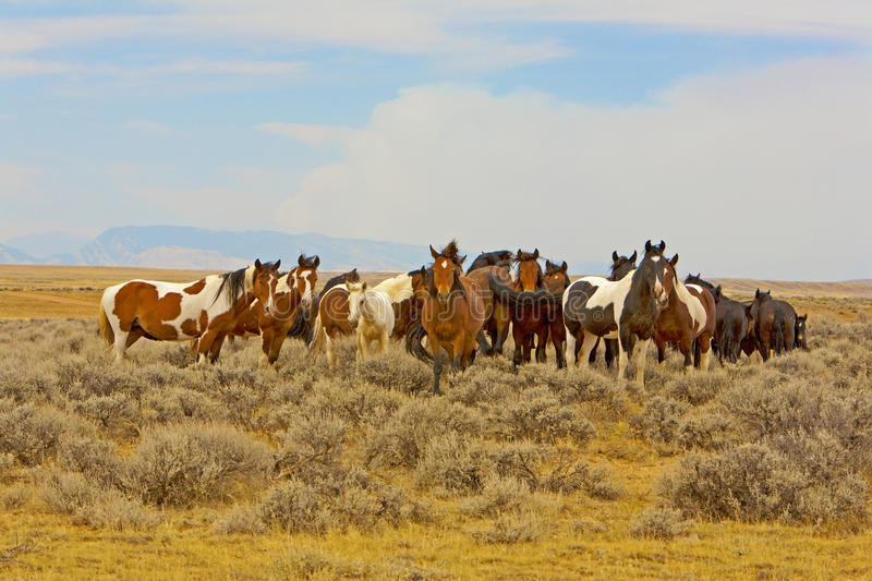 A Band of Wild Mustangs royalty free stock photo